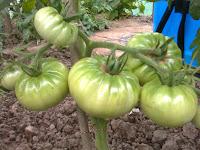 tomate ghittia