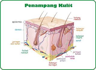 penampang kulit