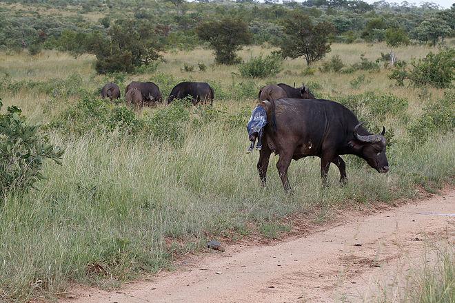 Potret Kehidupan Alam Liar, Perjuangan Induk Kerbau Melahirkan Di Tengah Ancaman Predator Daratan