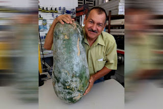 Empresário colhe pepino de 41 kg e faz sucesso nas redes sociais