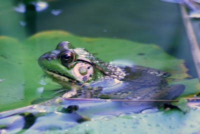Nature walk in Royal Botanical Garden - The frogs :: All Pretty Things