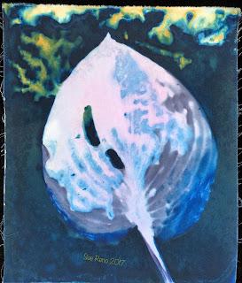 Hosta leaf, wet cyanotype print, for Halcyon Days