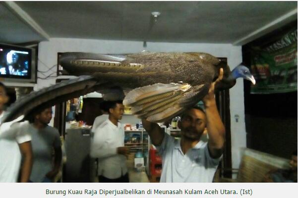 Warga Gampong Meunasah Kulam, Aceh Utara di hebohkan dengan Penemuan Burung Langka KUAU ( Argusianus ) dan dijual dengan harga Rp.300.000,-