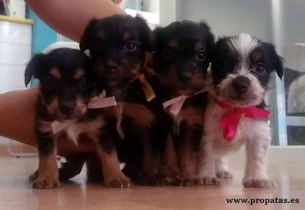 cachorras cruce yorkshire