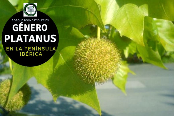 Lista de especies del Género Platanus, Plátano, Familia Plantanaceae en la Península Ibérica