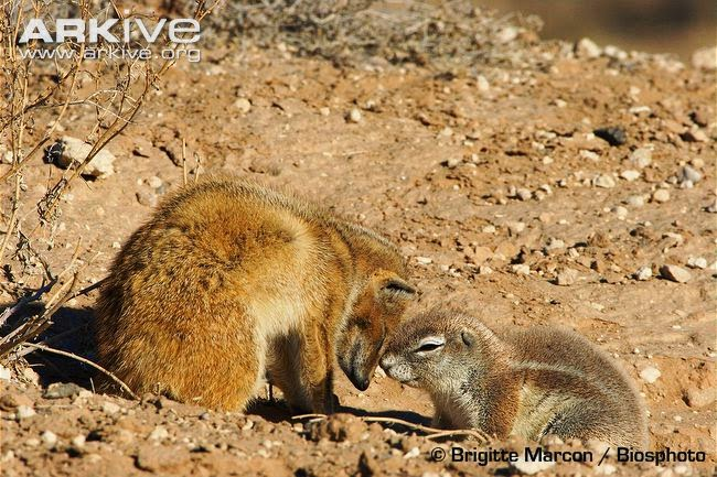 rare interactions between african mammals southafrican ground squirrel