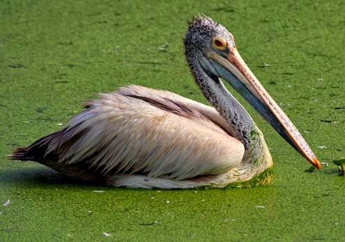 Indian birds - Spot-billed pelican - Pelecanus philippensis