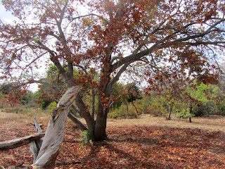 Big-leaf maple, Acer macrophyllum, Soapberry Family (Sapindaceae), Rancho Santa Ana Botanic Garden