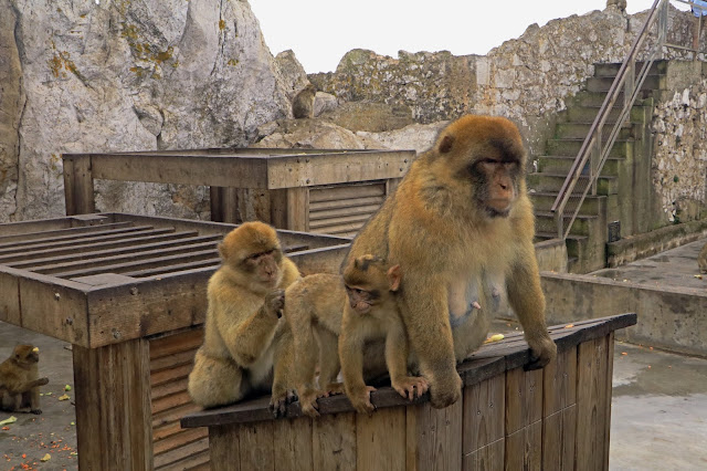 Buy Wall Art of Barbary Apes