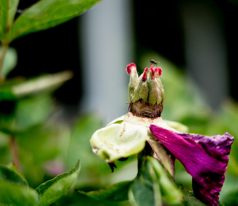 Blog + Fotografie by it's me! | fim.works | Typisch für meinen Garten | verblühte Baunerpfingstrose