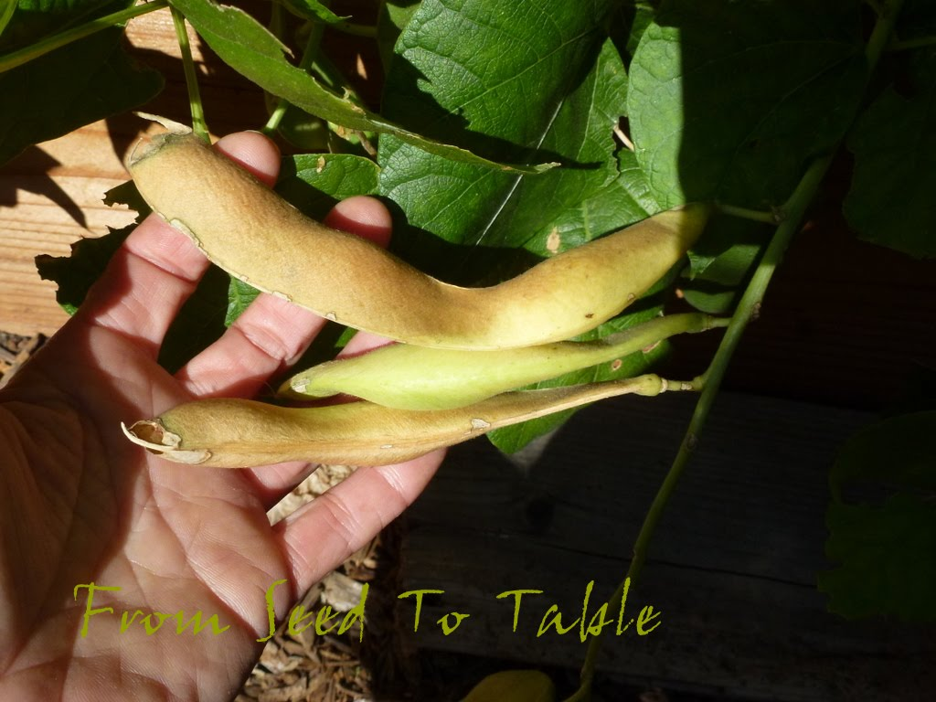 From Seed To Table: Saturday Spotlight - Greek Gigante Beans