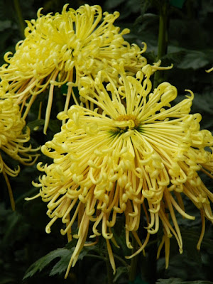 Yellow spider mums at Allan Gardens Conservatory 2015 Chrysanthemum Show by garden muses-not another Toronto gardening blog