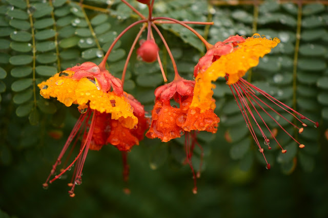 garden bloggers foliage day, gbfd, raindrops, photography, amy myers, desert garden, small sunny garden, caesalpinia, pulcherrima, red bird of paradise, pride of barbados