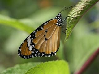 Petit monarque - Danaus chrysippus