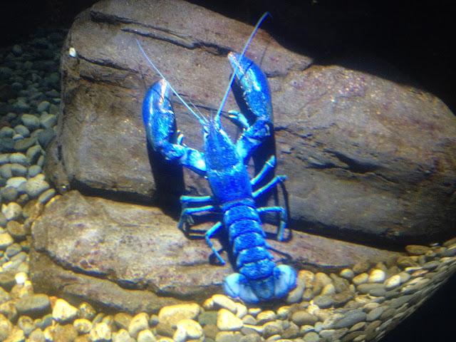 السلطعون الأزرق