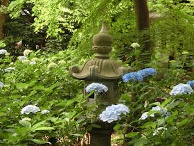 鎌倉宮のアジサイ