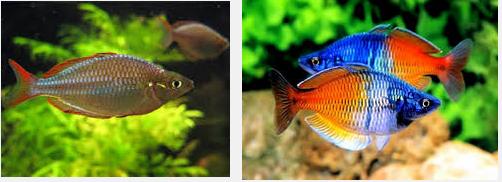 Ini Dia Budidaya Ikan Rainbow