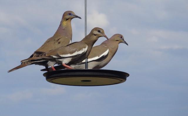 Three Doves in the Garden
