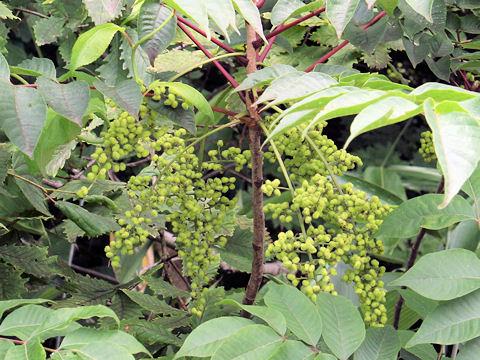 Toxicodendron vernicifluum  Wikipedia