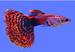 Jenis Ikan Guppy Mosaic