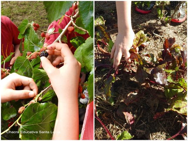 Manos en plena cosecha - Chacra Educativa Santa Lucía