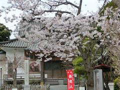 妙隆寺の桜