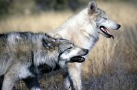 Branco di lupi mancini e destri