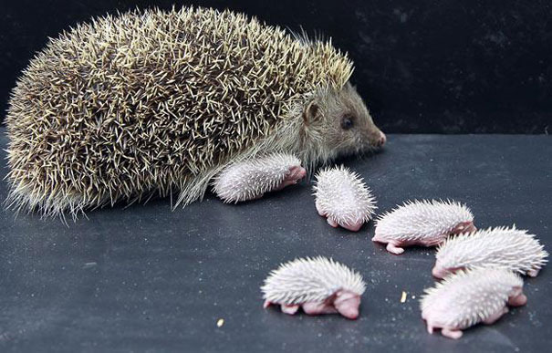 Baby Animals: Baby Hedgehogs 1