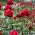 Σε δικαστικές περιπέτειες ανήλικη από την Ξάνθη γιατί πουλούσε... τριαντάφυλλα χωρίς άδεια!