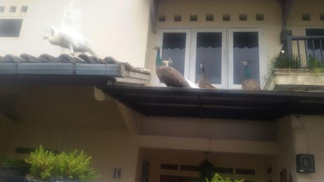5 Burung Merak Bikin Heboh Warga Kota Bogor