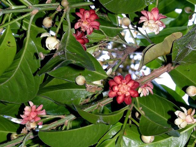 Fiori Idiospermum australiense