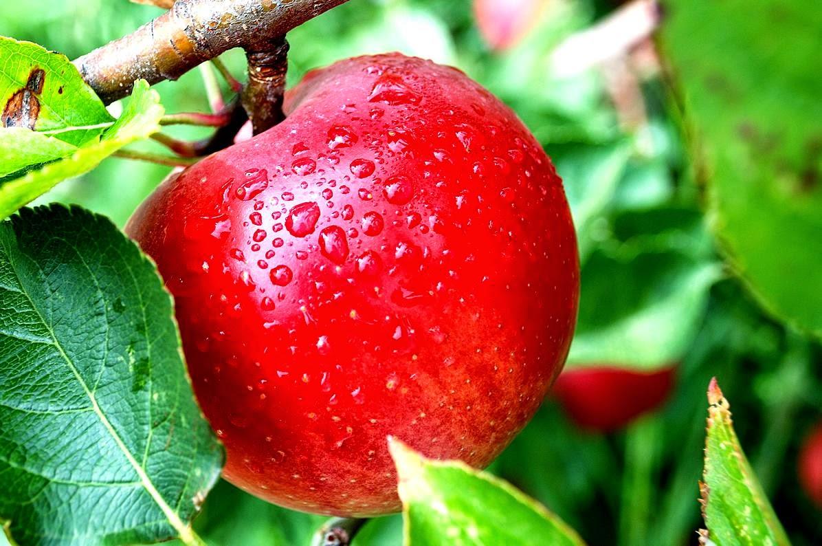 Apel ialah buah yang sehat dikonsumsi sebab kandungan banyak sekali zat penting untuk tubuh  Manfaat Apel untuk Bayi 6 Bulan Ke Atas