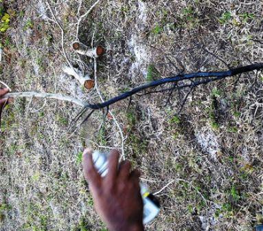 2 ranting pohon di cat hitam