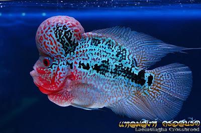 ขายปลาหมอสี ขายปลาฟลาวเวอร์ฮอร์น ส่งต่างจังหวัดได้ ทางรถทัวร์ รถตู้ ทั่วไทย