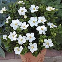 kış-çiçekleri-gardenya