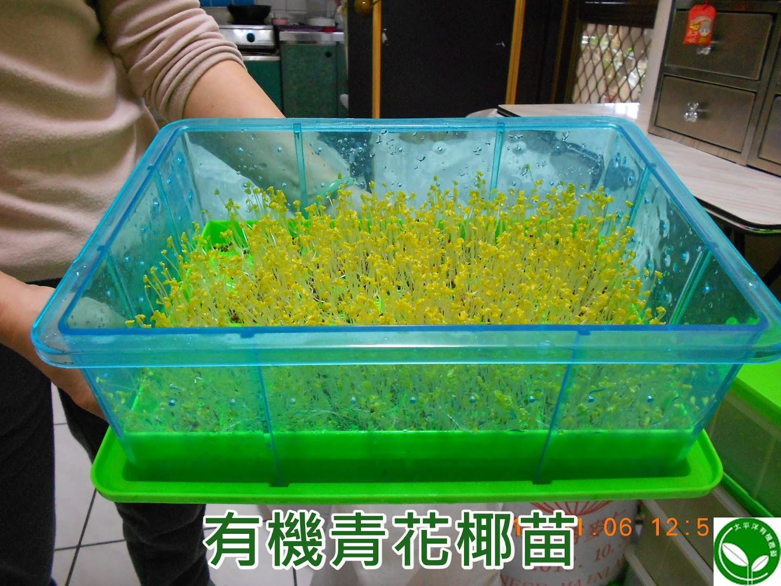 青花菜變黃,綠花椰營養,青花椰苗,青花椰,綠花椰菜芽,青花菜,青花菜種植,綠花椰,綠花椰菜,青花菜食譜