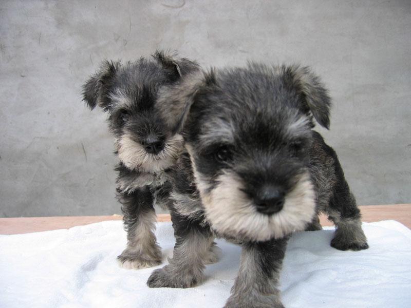 狗狗的品種: 雪納瑞