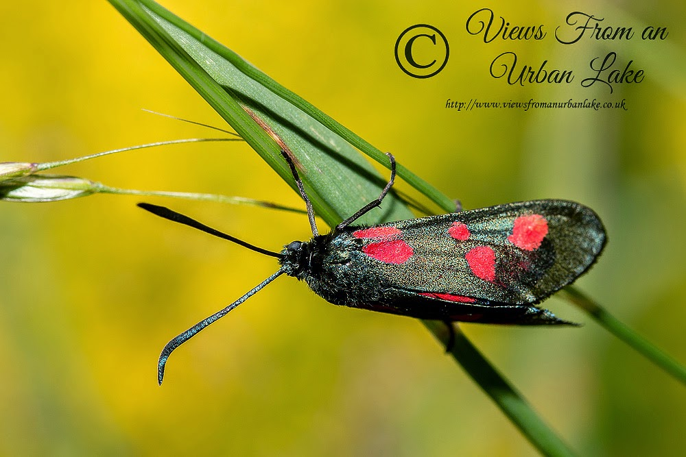 Five Spot Burnet (Photographed wild not after trapping) - Milton Keynes 2014