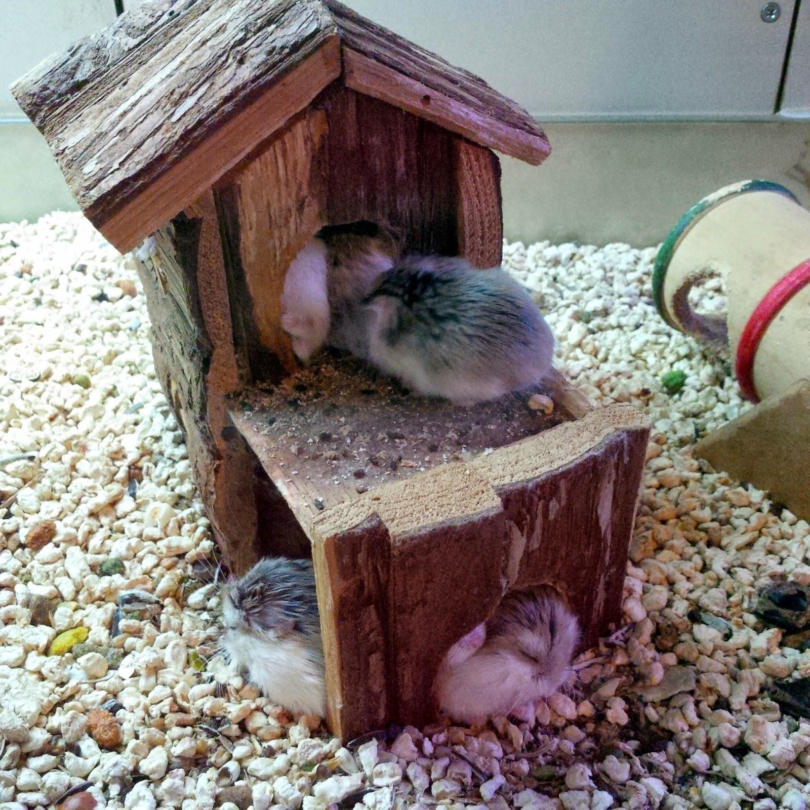 rodents mice pets viridea vicenza