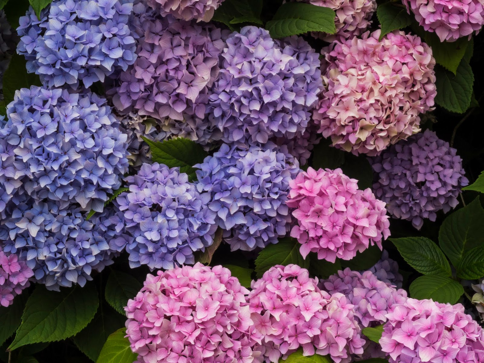 Blue and pink Hydrangea heads.