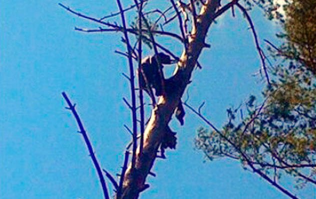 penemuan mumi diatas pohon