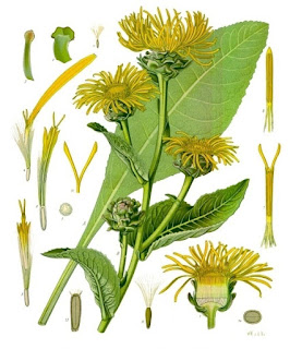 Elecampane flourishes from July to August, while the root is removed during autumn and spring when the plant does not bloom.