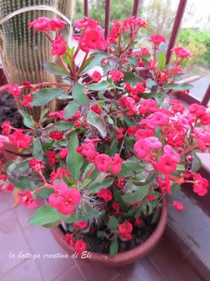 fiori-della-euforbia-milli-corona-di-cristo