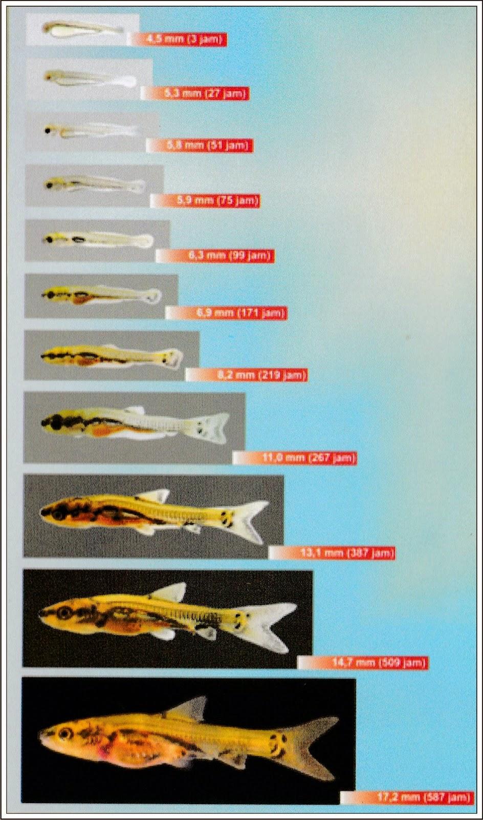 Pembenihan Ikan Balashark Lalaukan