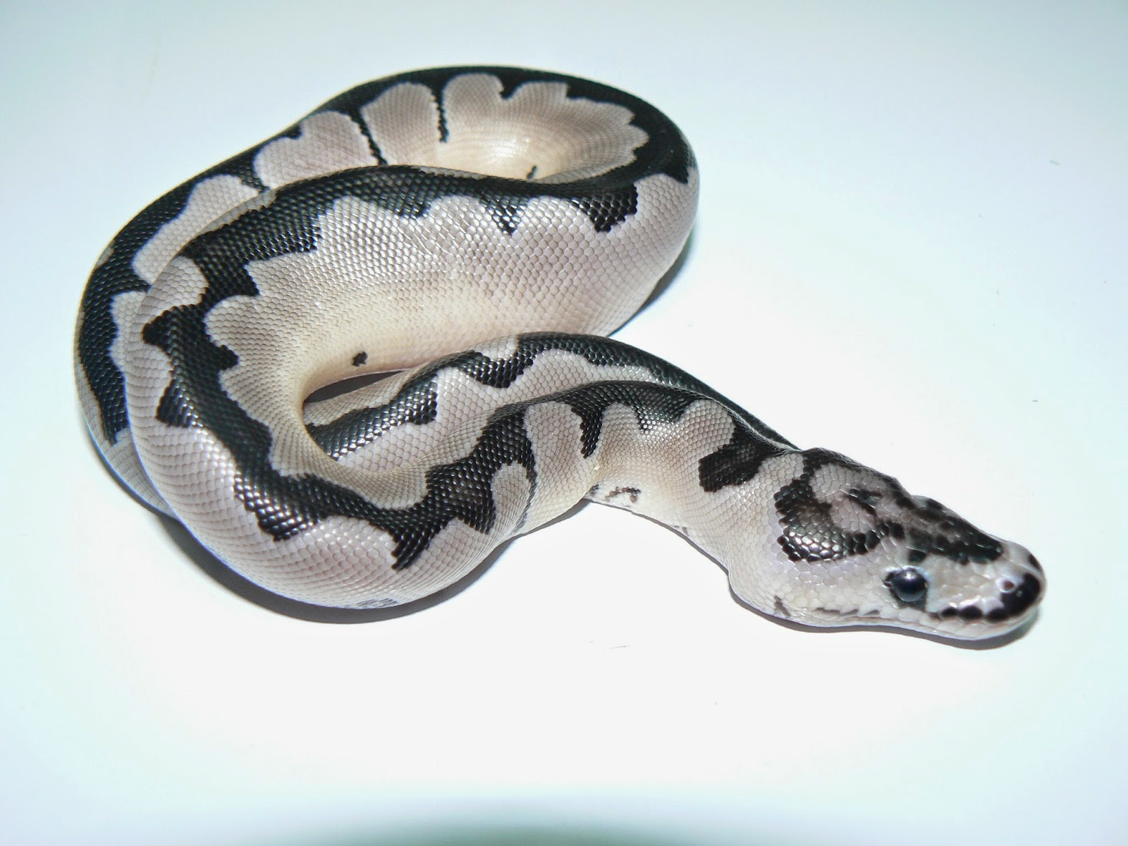Heather's Herps: It has arrived! TSK Axanthic Clown