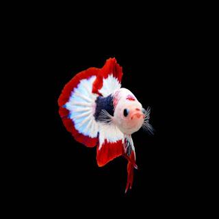 Wallpaper Ikan Cupang Hias HD
