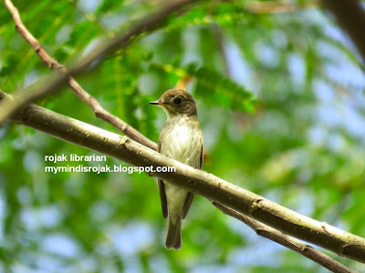 Asian Brown Flycatcher in Tampines Echo Green