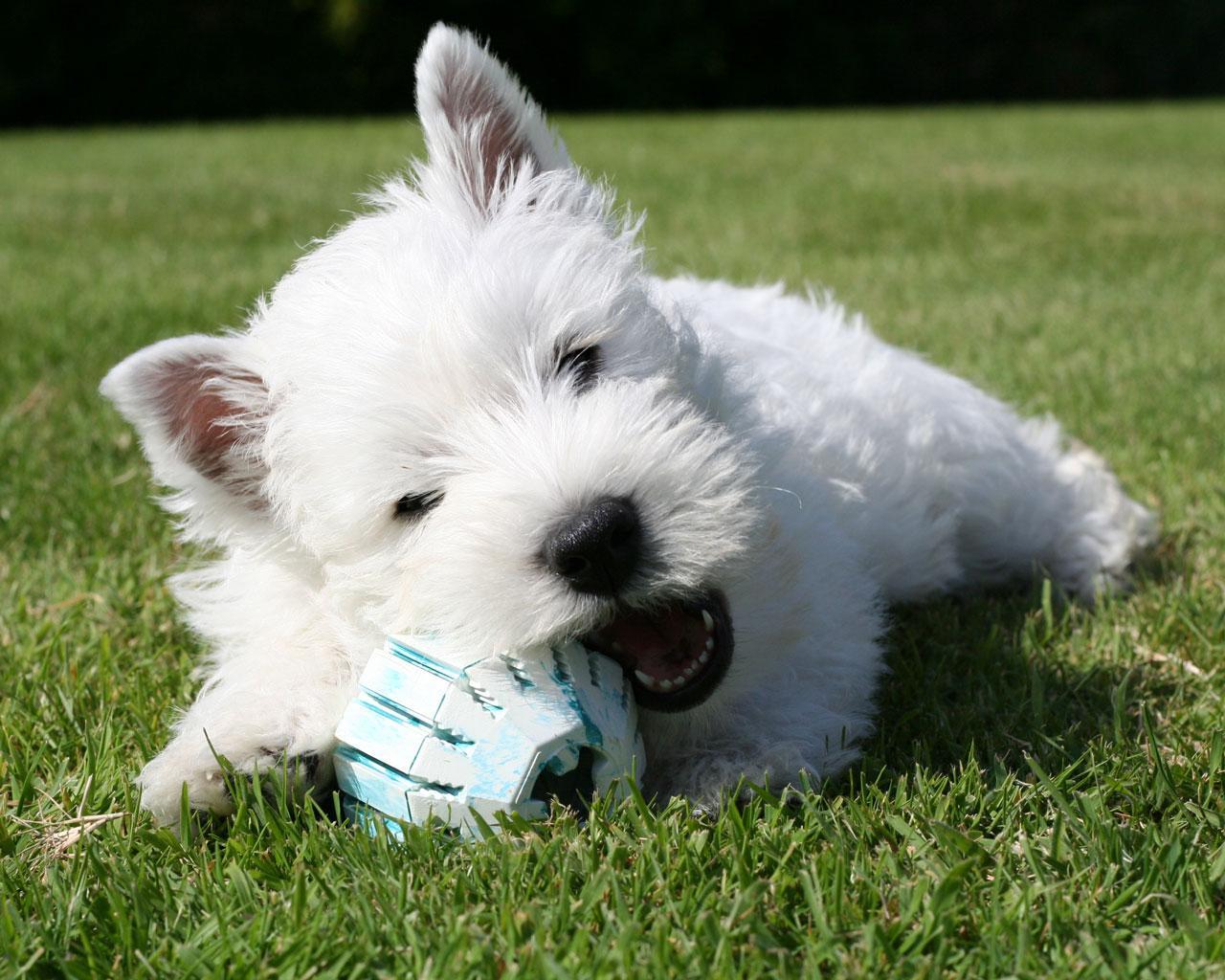 Psi Świat: Rasa #2 west highland white terrier