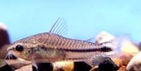 Jenis Ikan Corydoras pygmaeus