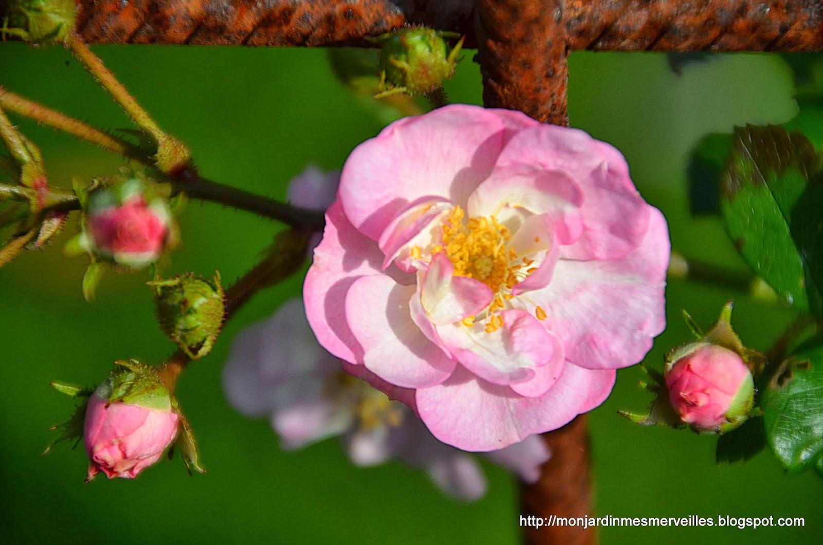 mon jardin mes merveilles: nouveaux rosiers 2013 : perrenial blush